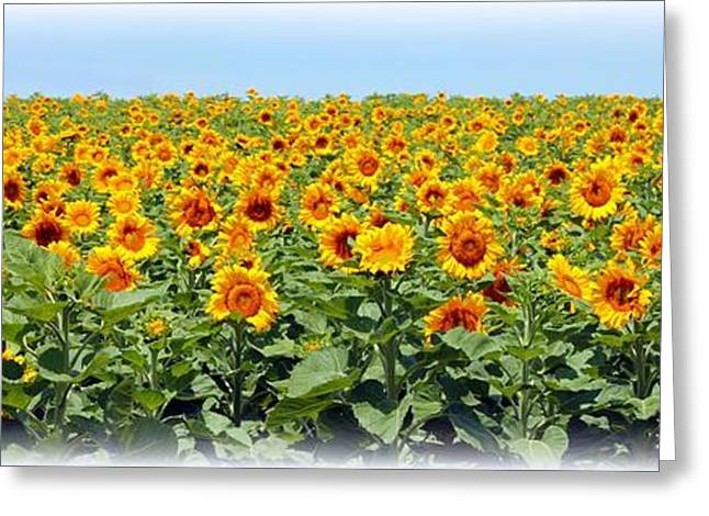 Betty Northcutt Greeting Cards - Sunflower Fields Forever Greeting Card by Betty Northcutt
