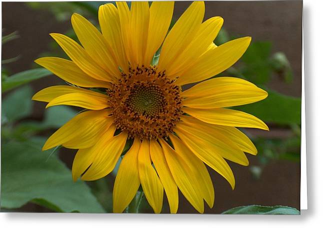 Gt Greeting Cards - Sunflower Greeting Card by Gt