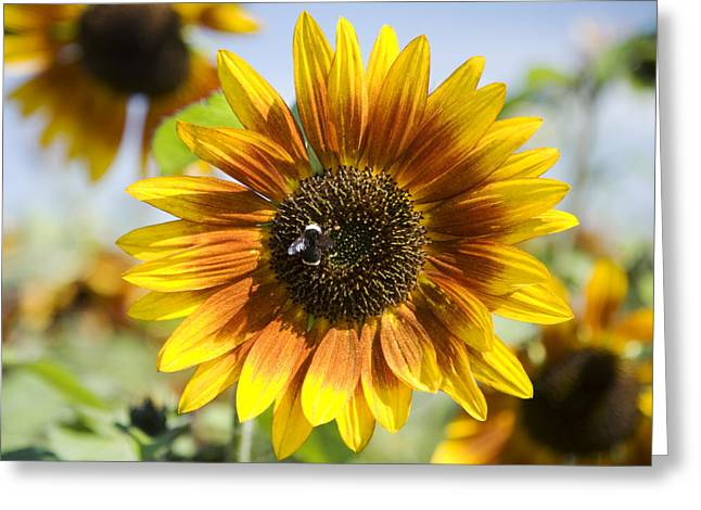 Sauvie Island Greeting Cards - Sunflower Hybrid Greeting Card by Peter French - Printscapes