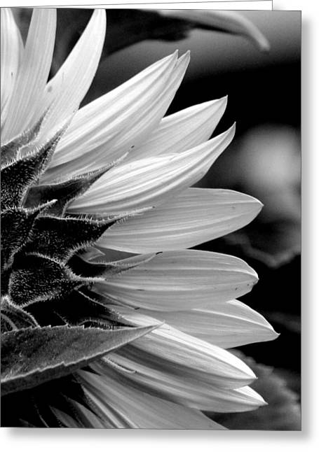 Floral Photographs Greeting Cards - Sunflower in Black and White - 2  Greeting Card by Tam Graff