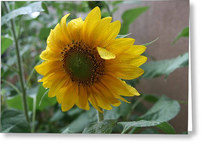 Elizabeth Rose Greeting Cards - Sunflower in the Rain Greeting Card by Elizabeth Rose