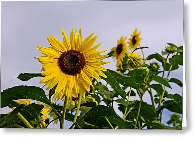 Sunflower In The Setting Sun Greeting Card by Richard Bramante