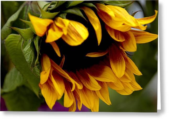 Sunflower Greeting Card by Jonathan Schreiber