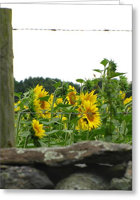 Buttonwood Farm Greeting Cards - Sunflower  Greeting Card by Lisa Jayne Konopka