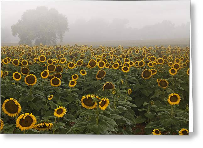 Sunflower Photograph Greeting Cards - Sunflower Morning ll Greeting Card by Rob Travis