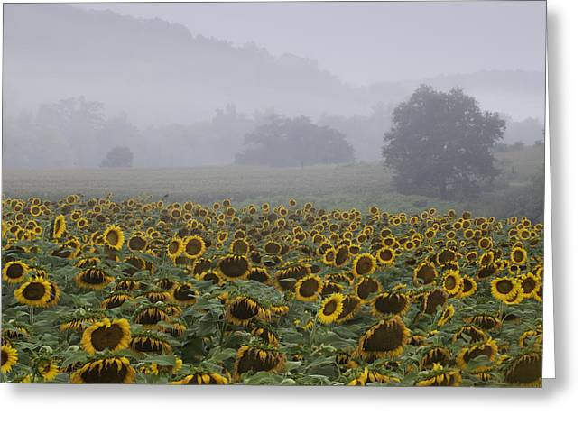 Sunflower Photograph Greeting Cards - Sunflower Morning Greeting Card by Rob Travis