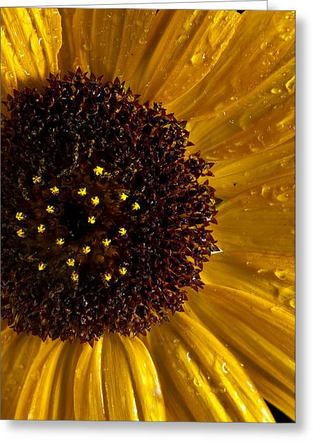 Dew Greeting Cards - Sunflower Number 2 Greeting Card by Steve Gadomski