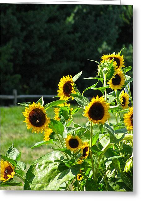 Sunflower Patch Greeting Cards - Sunflower Patch Greeting Card by Debra     Vatalaro