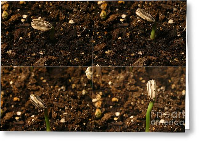Germinate Greeting Cards - Sunflower Seedling Growth Sequence Greeting Card by Ted Kinsman
