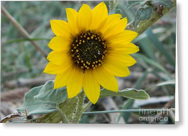 Fort Collins Greeting Cards - Sunflower Smile Greeting Card by Sara  Mayer