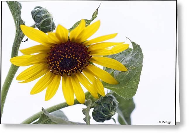 Stellina Giannitsi Greeting Cards - Sunflower Greeting Card by Stellina Giannitsi