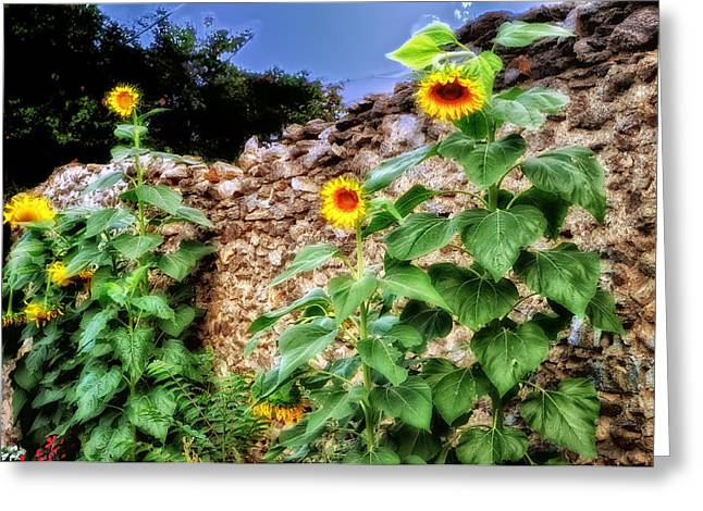 Bluesky Greeting Cards - Sunflower Wall Greeting Card by Bill Cannon