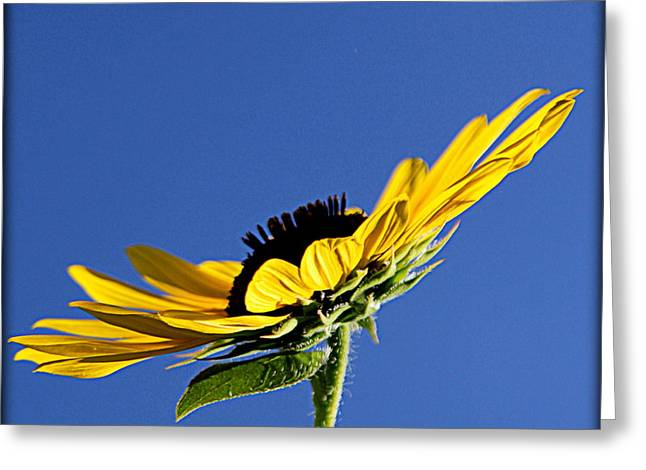 Floral Photographs Greeting Cards - Sunflower with Blue Background - II Greeting Card by Tam Graff