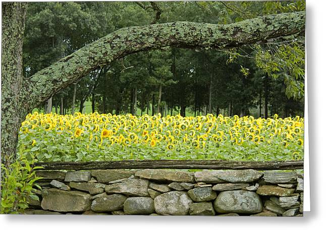 Buttonwood Farm Greeting Cards - Sunflowers 1 Greeting Card by Ron Smith