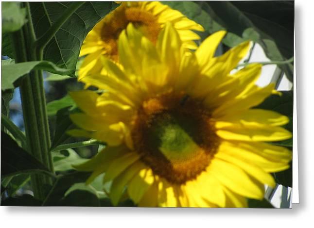 Amy Bradley Greeting Cards - Sunflowers Greeting Card by Amy Bradley