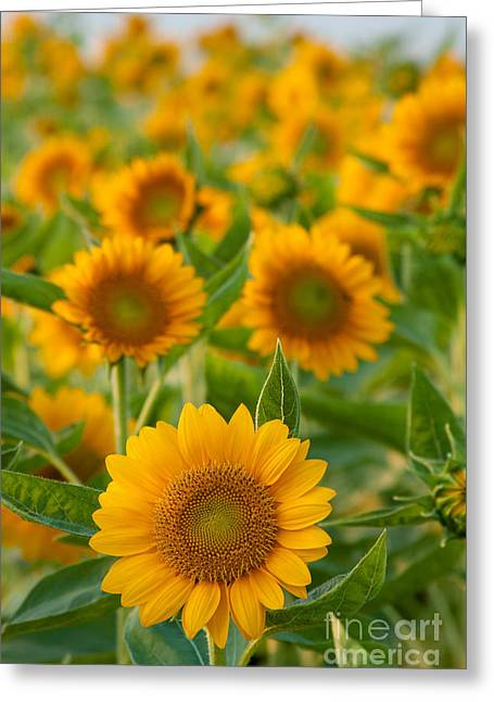 Stationary Greeting Cards - Sunflowers Greeting Card by Atiketta Sangasaeng