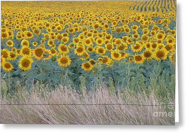 Sunflowers Behind Barbed Wire Greeting Card by Estephy Sabin Figueroa