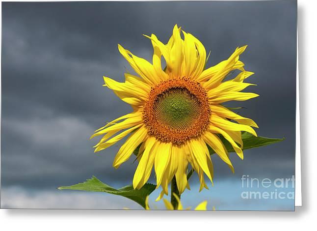 Outdoors Greeting Cards - Sunflowers Helianthus annuus Greeting Card by Bernard Jaubert