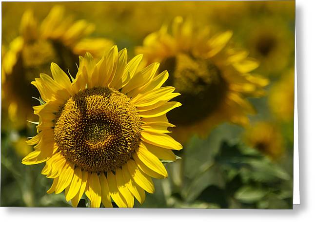 Sunflower Patch Greeting Cards - Sunflowers Greeting Card by Lisa Moore