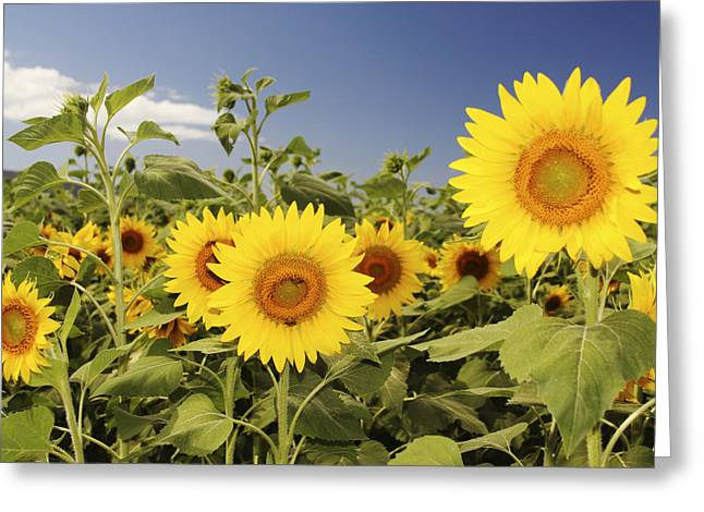 Vince Greeting Cards - Sunflowers on North Shore Greeting Card by Vince Cavataio - Printscapes