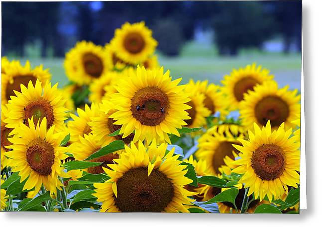 Interior Still Life Photographs Greeting Cards - Sunflowers Greeting Card by Paul Ward