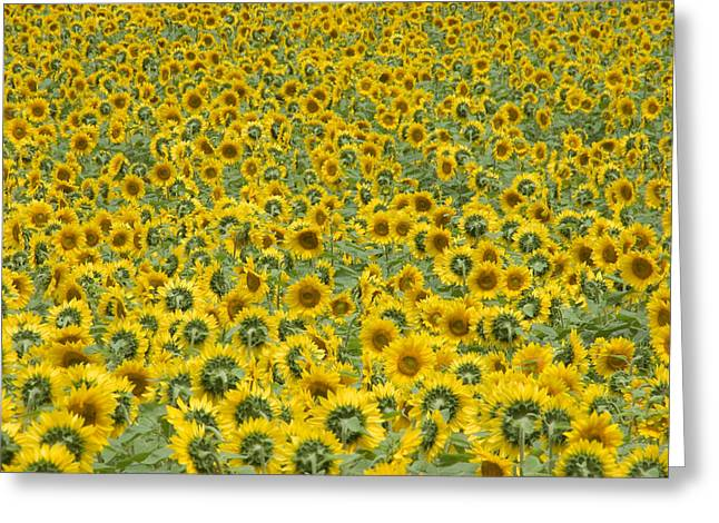 Buttonwood Farm Greeting Cards - Sunflowers Greeting Card by Ron Smith