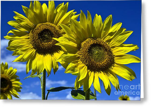 Scotts Scapes Greeting Cards - Sunflowers Greeting Card by Scotts Scapes