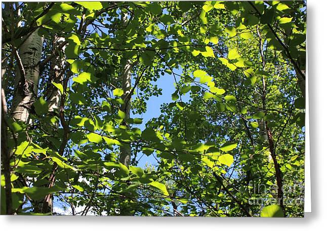 Alberta Greeting Cards - Sunlight in Trembling Aspens Greeting Card by Jim Sauchyn