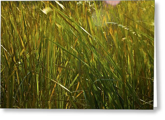 Wildlife Refuge. Greeting Cards - Sunlit Grasses Greeting Card by Rich Franco