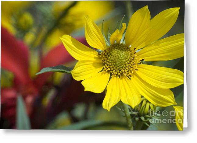 Sunflower Joy Greeting Cards - Sunny Blooms Greeting Card by Jeannie Burleson