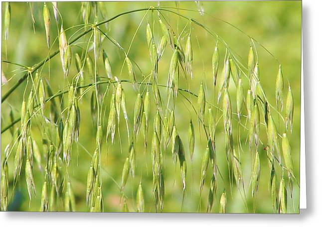 Grains Greeting Cards - Sunny day at the oat field Greeting Card by Christine Till