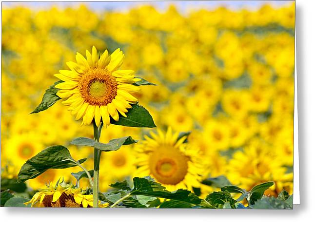 Wisconsin Wildflowers Greeting Cards - Sunny Disposition Greeting Card by Bill Pevlor