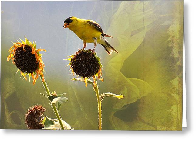 Feeding Birds Greeting Cards - Sunny Finch Greeting Card by Todd Hostetter