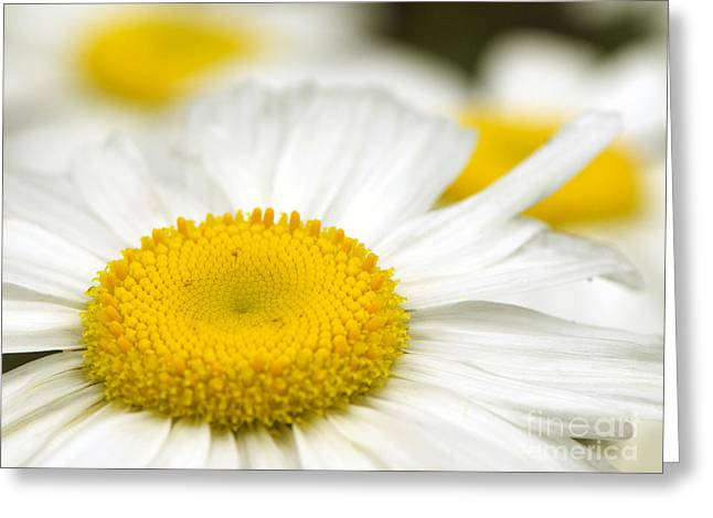 Garden Of Daisies Greeting Cards - Sunny-side Up Daisy Greeting Card by Sharon  Talson