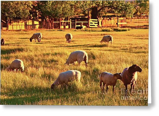 Ranch Digital Art Greeting Cards - Sunset Sheep Ranch Greeting Card by Gus McCrea