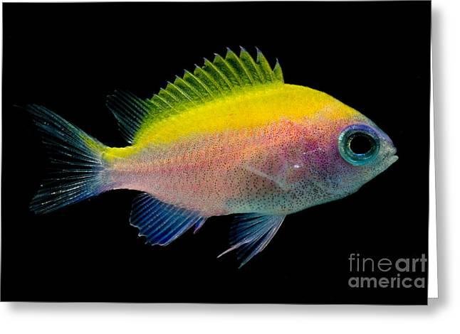Reef Fish Greeting Cards - Sunshine Chromis Greeting Card by Danté Fenolio