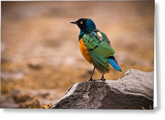 Aviary Greeting Cards - Superb Starling Greeting Card by Adam Romanowicz