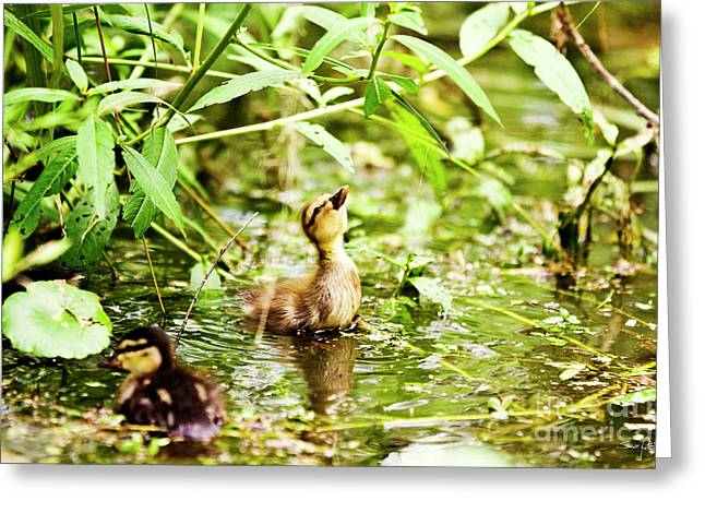 Baby Mallards Greeting Cards - Supper Time Greeting Card by Scott Pellegrin
