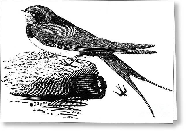 Bewick Greeting Cards - SWALLOW, c1800 Greeting Card by Granger