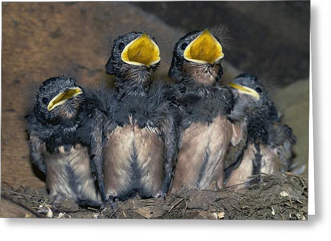 Hungry Chicks Greeting Cards - Swallow Chicks Greeting Card by Georgette Douwma