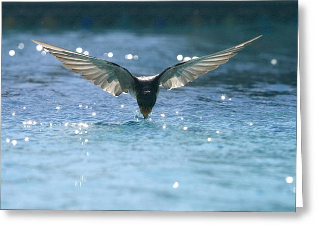 Swallow Photographs Greeting Cards - Swallow drinks from pool Greeting Card by Bryan Allen