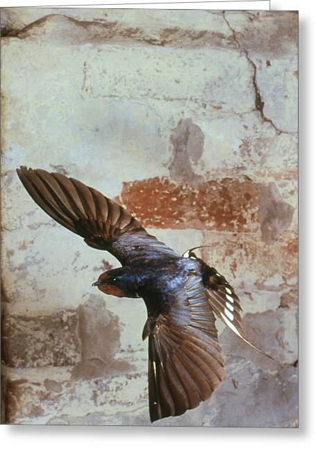 Hirundo Greeting Cards - Swallow In Flight Greeting Card by Andy Harmer