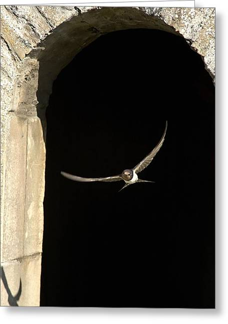 Swallow In Flight Greeting Card by John Short