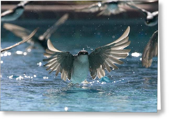 Swallow Photographs Greeting Cards - Swallows drink from pool Greeting Card by Bryan Allen