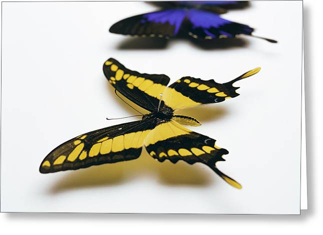 Papilio Thoas Greeting Cards - Swallowtail Butterflies Greeting Card by Lawrence Lawry
