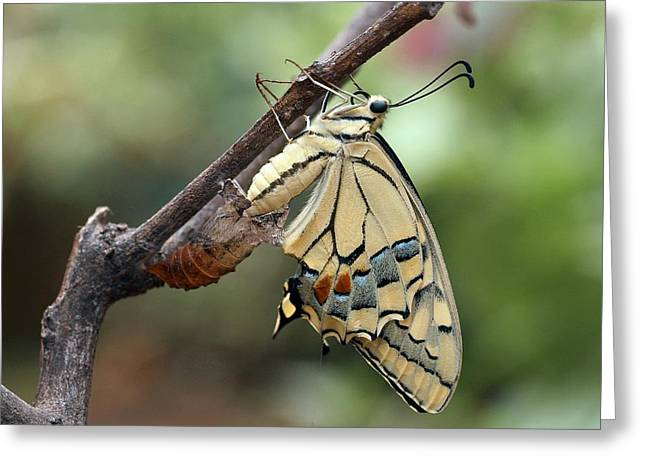 Swallowtail Butterfly Emerging Greeting Card by Photostock-israel