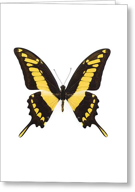 Papilio Thoas Greeting Cards - Swallowtail Butterfly Greeting Card by Lawrence Lawry