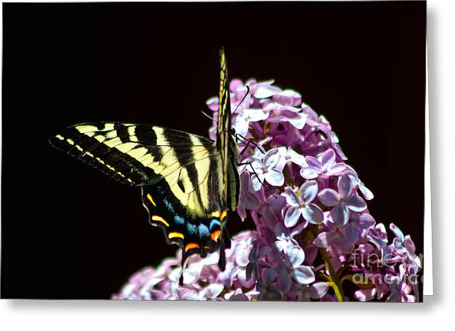 Swallowtail On Lilac 3 Greeting Card by Mitch Shindelbower