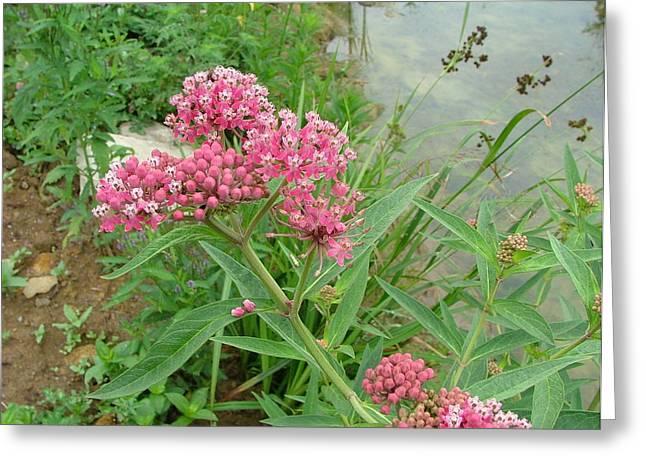 Swamp Milkweed Greeting Cards - Swamp milkweed Greeting Card by Matt Berry