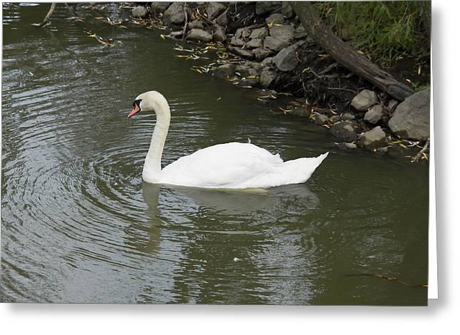 St Elizabeth Greeting Cards - Swan Along the Shoreline Greeting Card by Corinne Elizabeth Cowherd